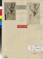 Oncidium bracteatum image