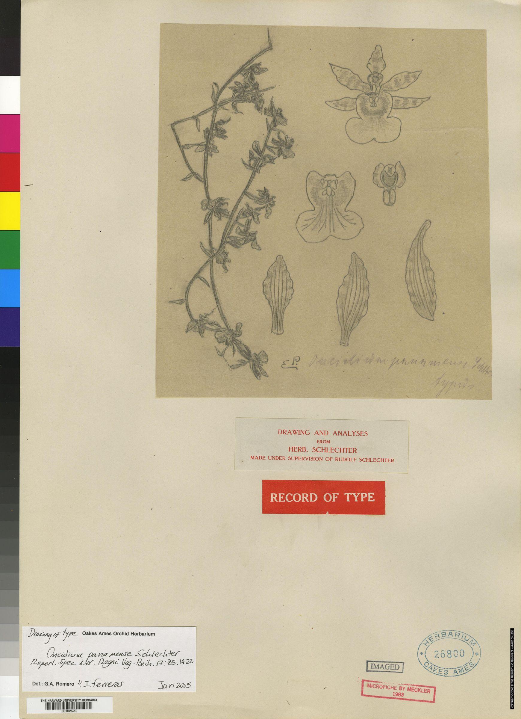 Oncidium panamense image