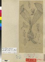 Rossioglossum schlieperianum image
