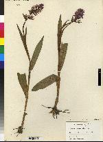 Image of Orchis purpurella