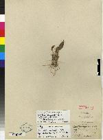 Maxillaria ramonensis image