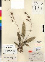 Mesospinidium panamense image