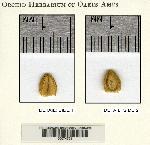 Trichosalpinx rotundata image