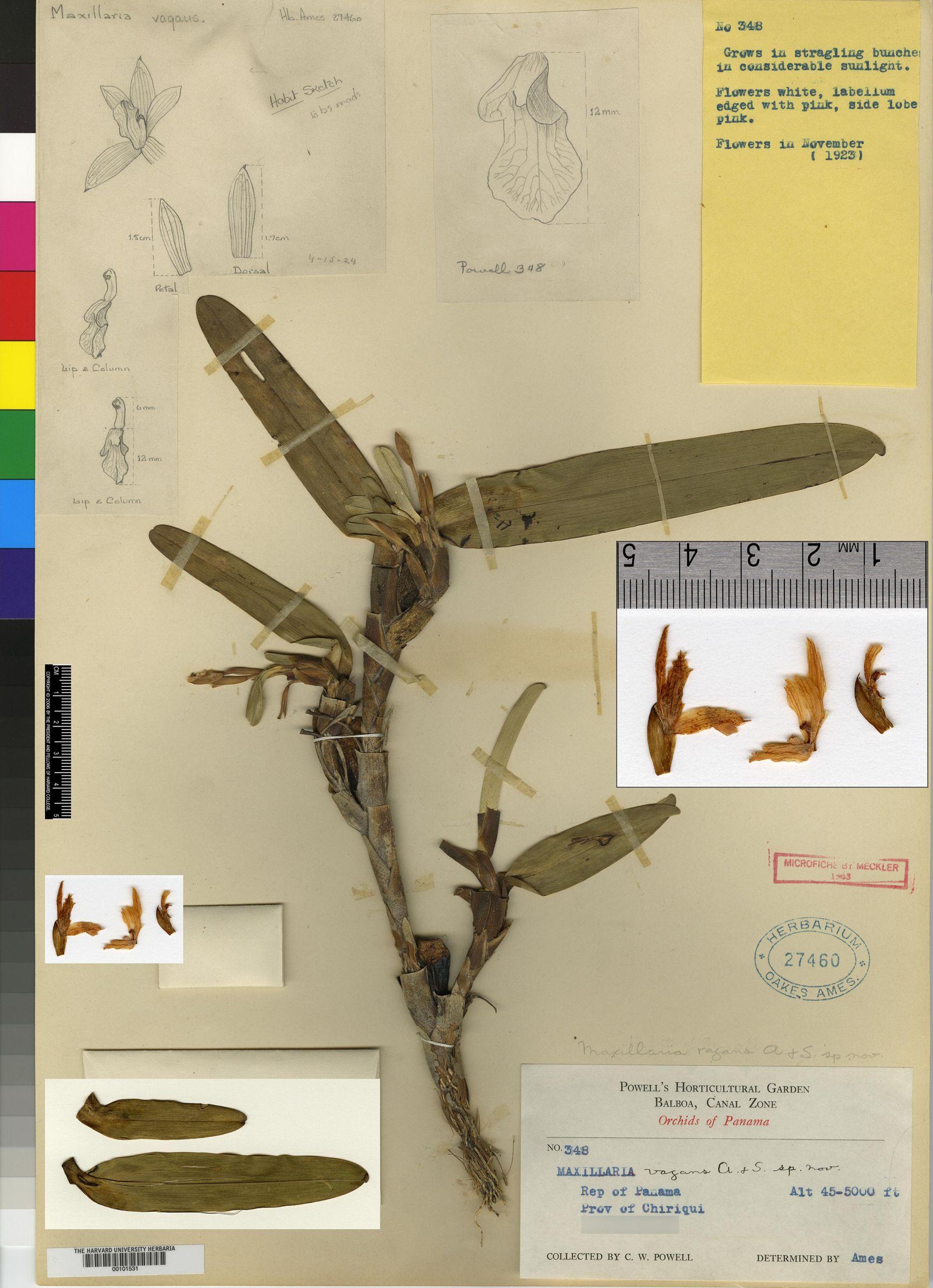 Maxillaria bracteata image