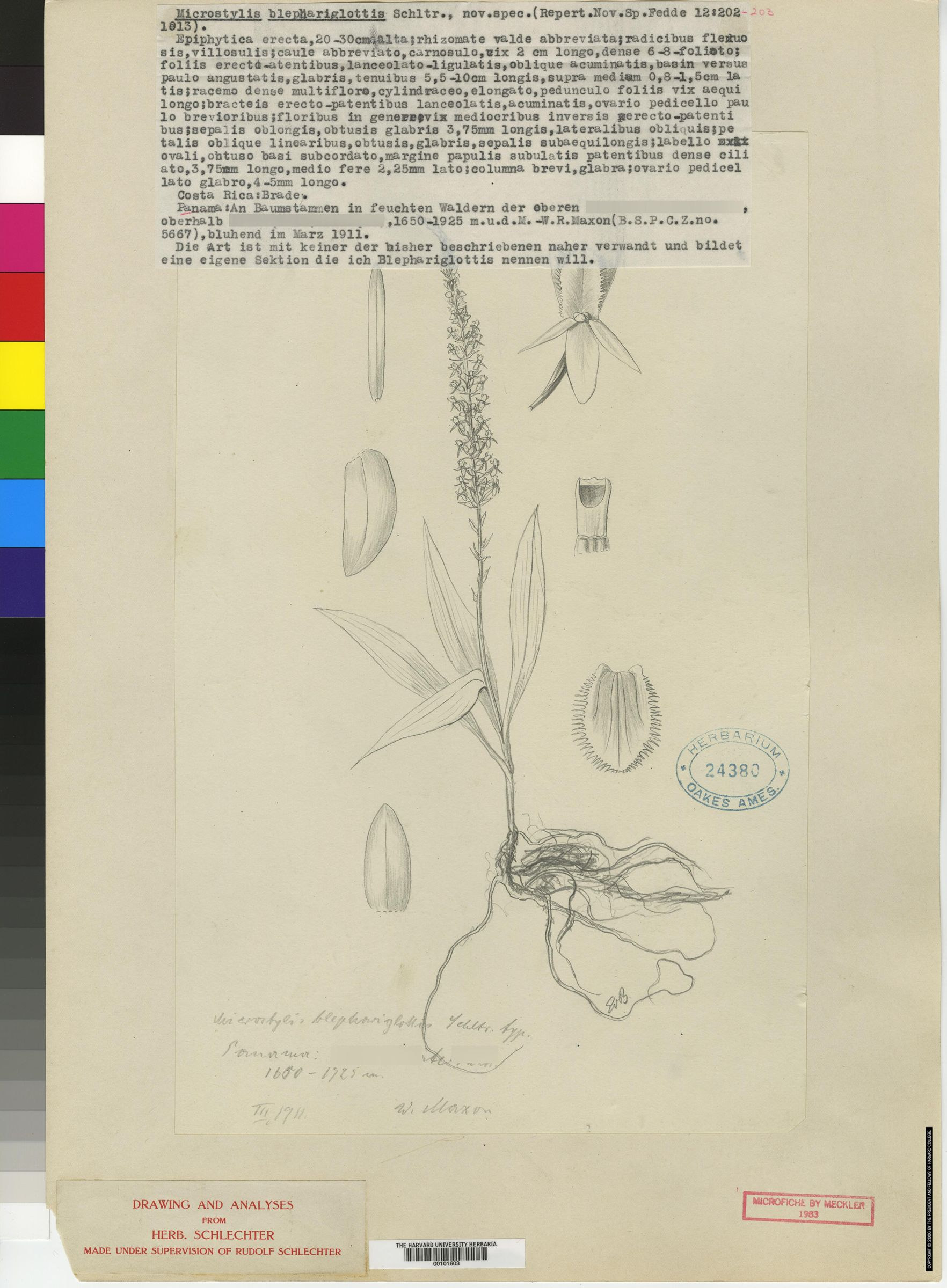 Crossoglossa blephariglottis image