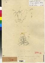 Maxillaria reichenheimiana image