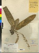 Notylia latilabia image