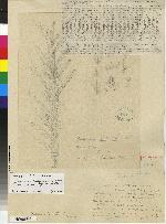 Maxillaria falcata image