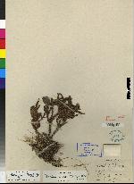 Maxillaria wercklei image
