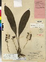 Xylobium foveatum image