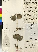 Malaxis woodsonii image