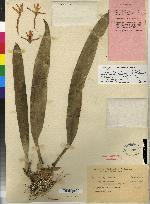 Maxillaria powellii image