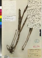 Octomeria valerioi image