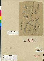 Catasetum bicolor image