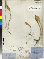 Image of Acianthera rubroviridis