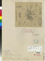 Pleurothallis barboselloides image