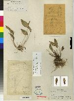 Pleurothallis carpinterae image