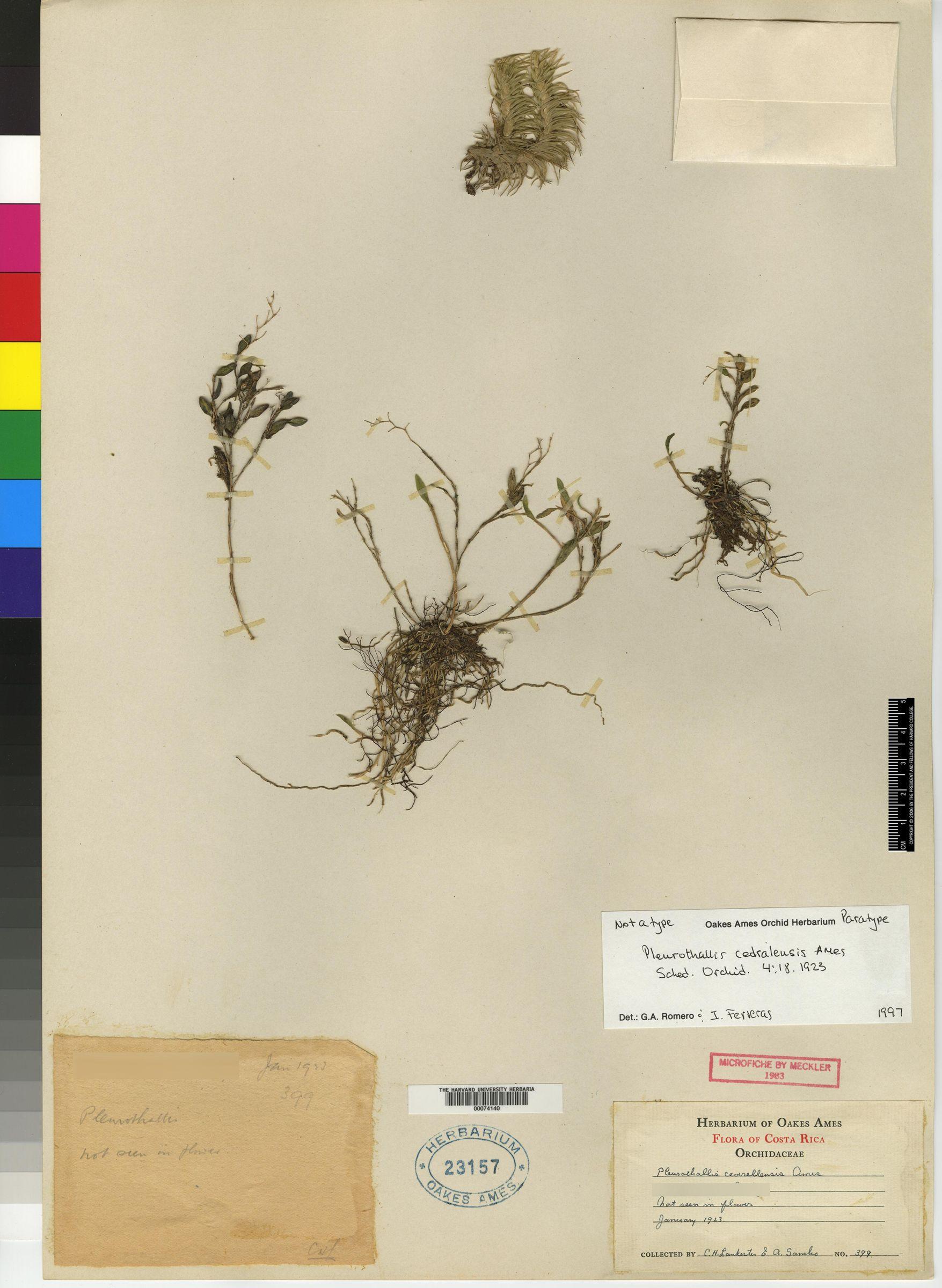 Trichosalpinx cedralensis image