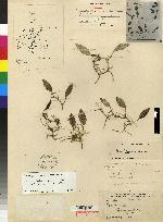 Image of Acianthera yauaperyensis