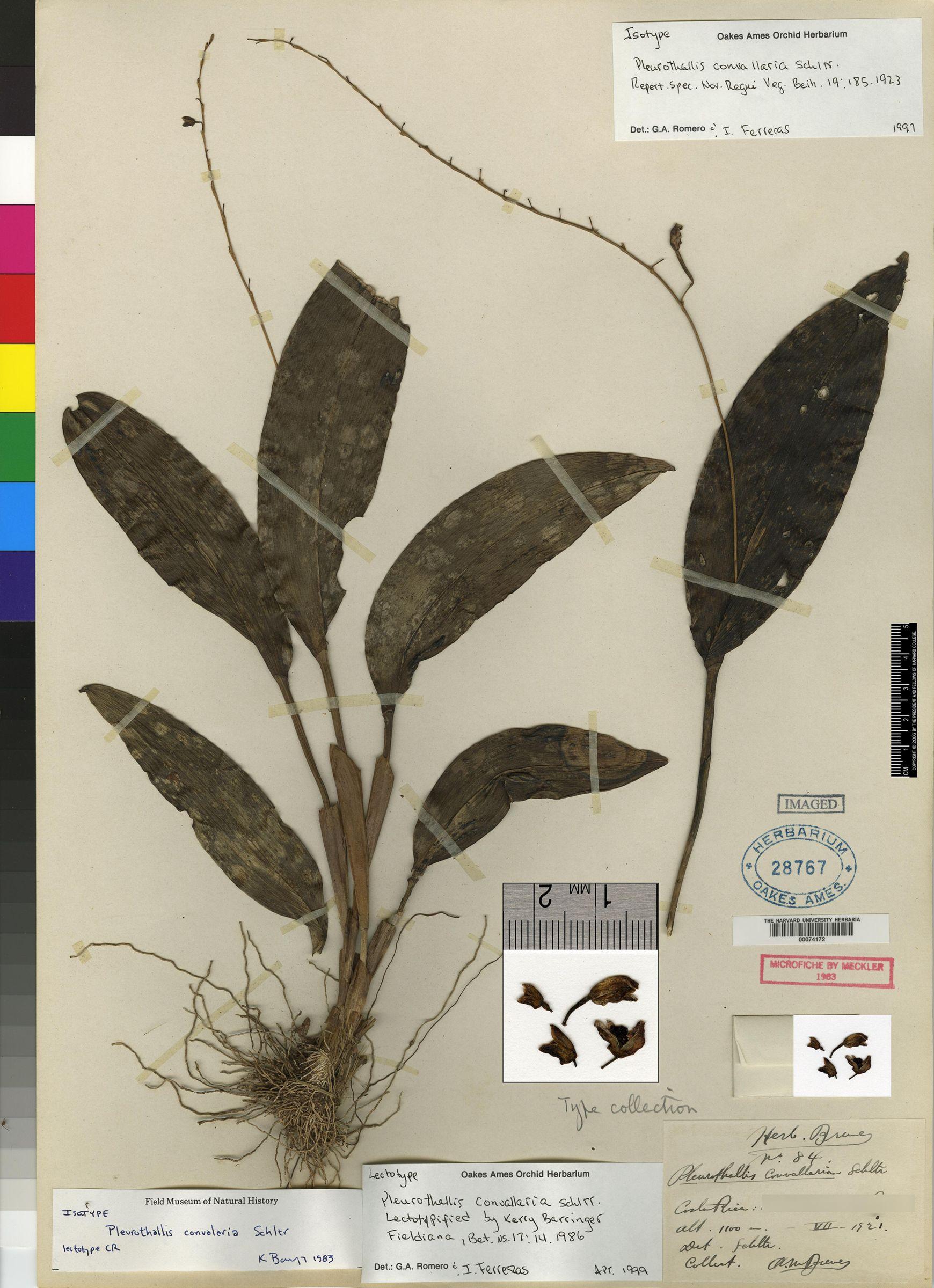 Pleurothallis convallaria image