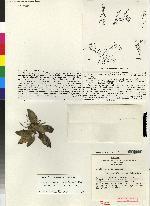 Image of Acianthera cordatifolia