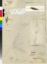 Pleurothallis rowleei image