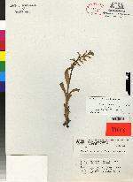 Platanthera calderoniae image