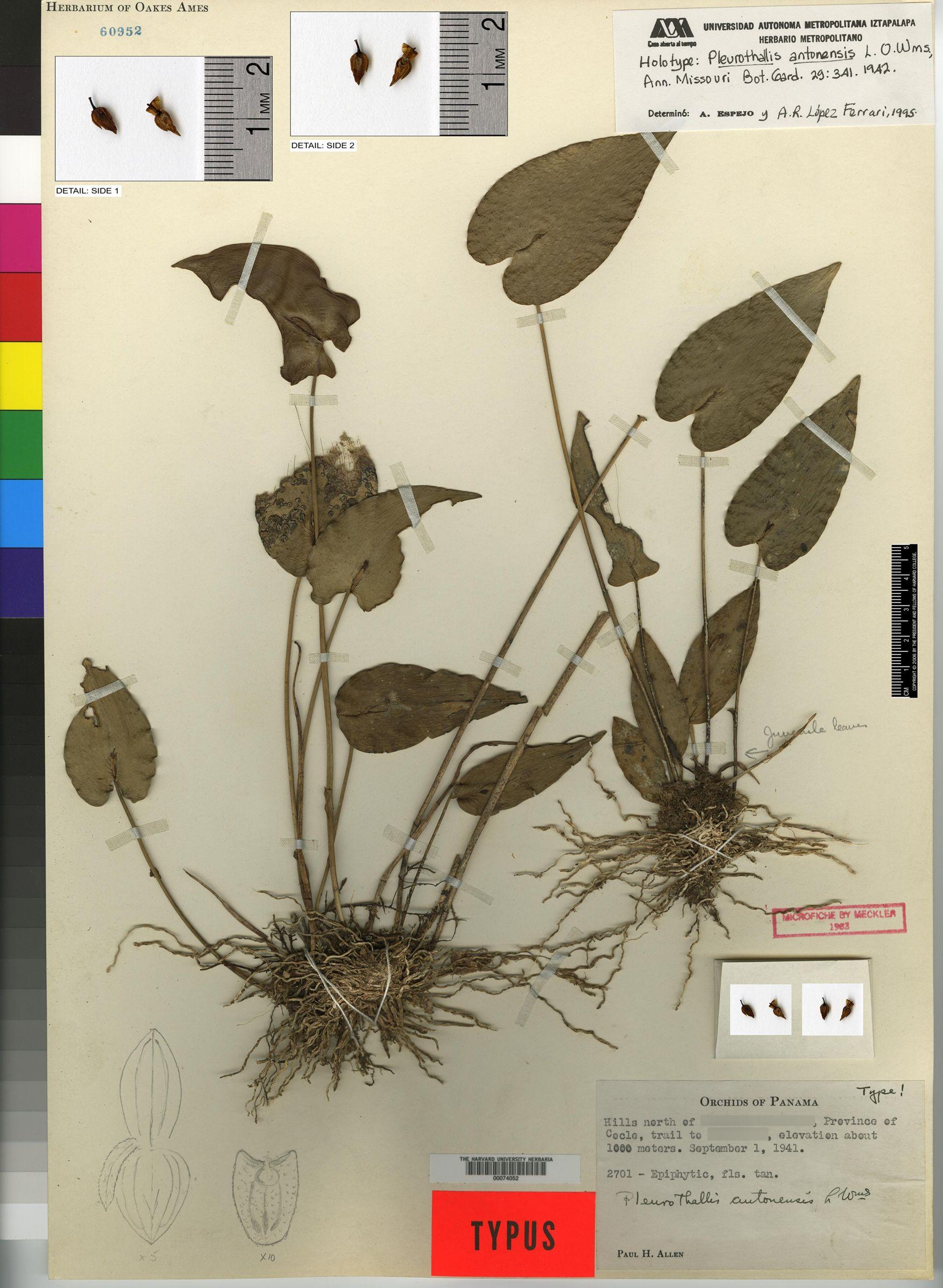 Pleurothallis antonensis image