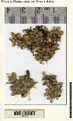 Image of Anathallis comayaguensis