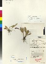 Image of Acianthera compressicaulis