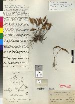 Pleurothallis concaviflora image