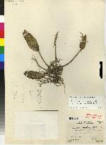 Pleurothallis ellipsophylla image