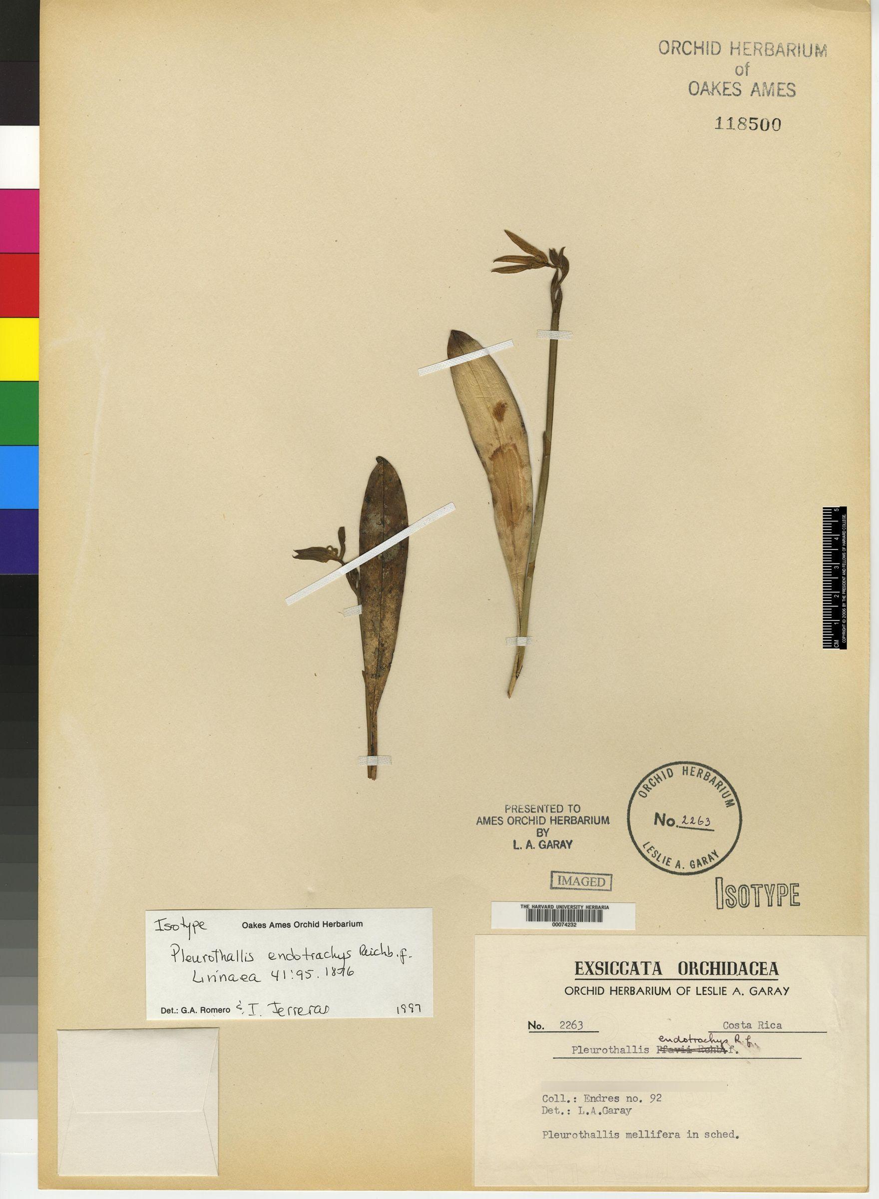 Pleurothallis endotrachys image