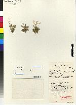 Image of Specklinia formondii