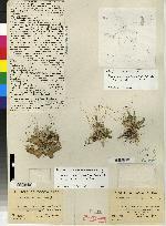 Pleurothallis fractiflexa image