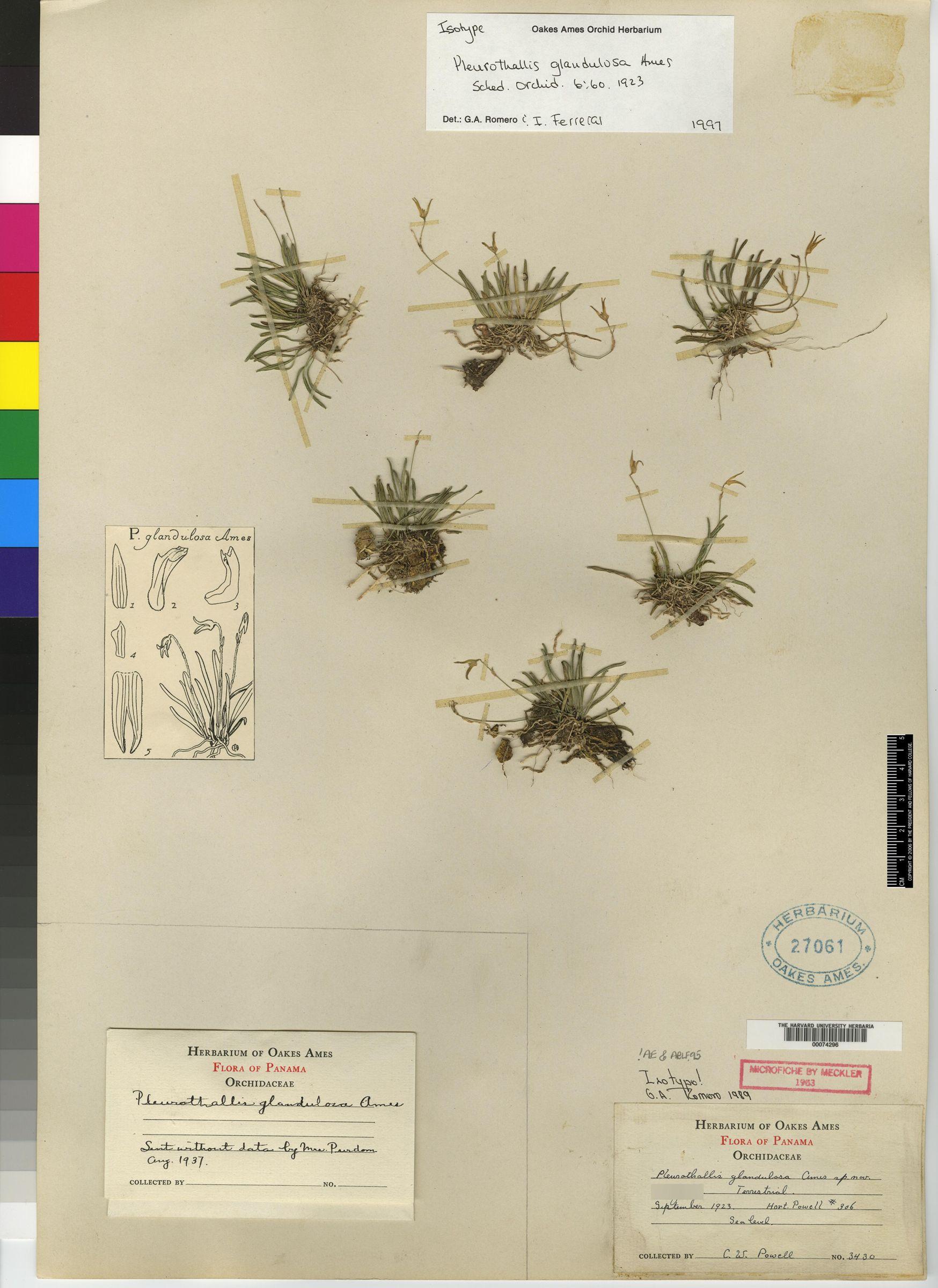 Pleurothallis glandulosa image