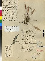Image of Acianthera hondurensis