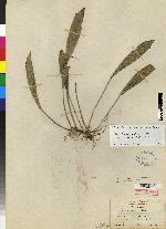 Acianthera hondurensis image