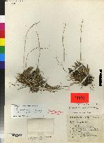 Acianthera hintonii image