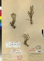 Image of Specklinia lentiginosa