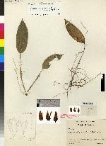 Pleurothallis lepidota image