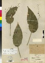 Pleurothallis longipedicellata image