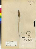 Image of Acianthera pantasmi