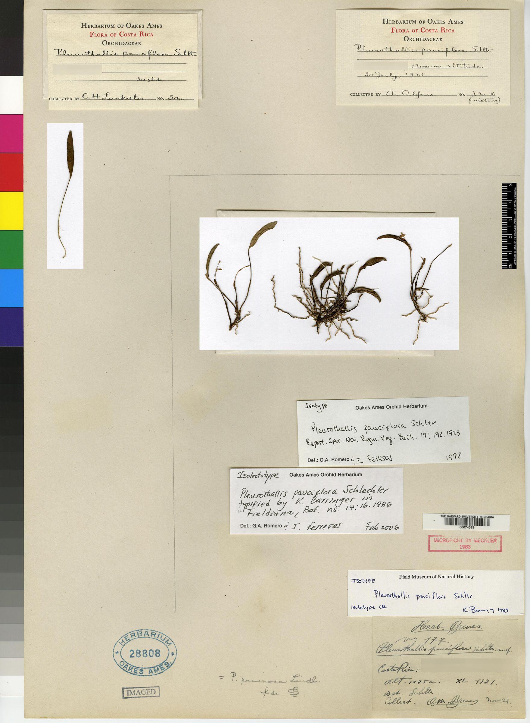 Pleurothallis pruinosa image