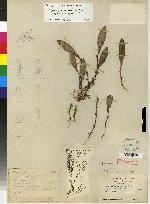 Trichosalpinx blaisdellii image