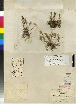 Trichosalpinx pergrata image