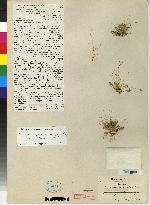 Pleurothallis segregatifolia image