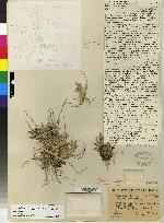 Acianthera sigmoidea image