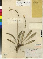 Image of Specklinia spectabilis