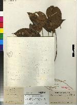 Pleurothallis triangulabia image